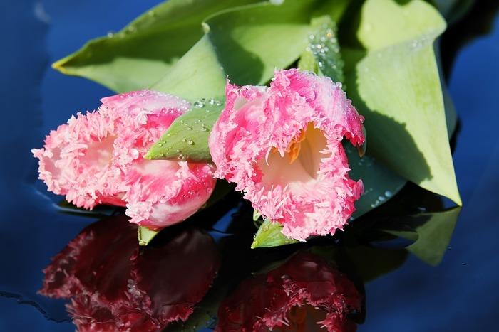 さまざまな花弁の種類を持つチューリップ。毎年、新しい品種が生み出されて、現在は8000種類以上が楽しめるといわれています。