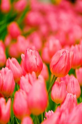 チューリップはユリ科チューリップ属に属する球根植物で、日本では大正時代に入ってから栽培が本格的に始まったといわれています。
