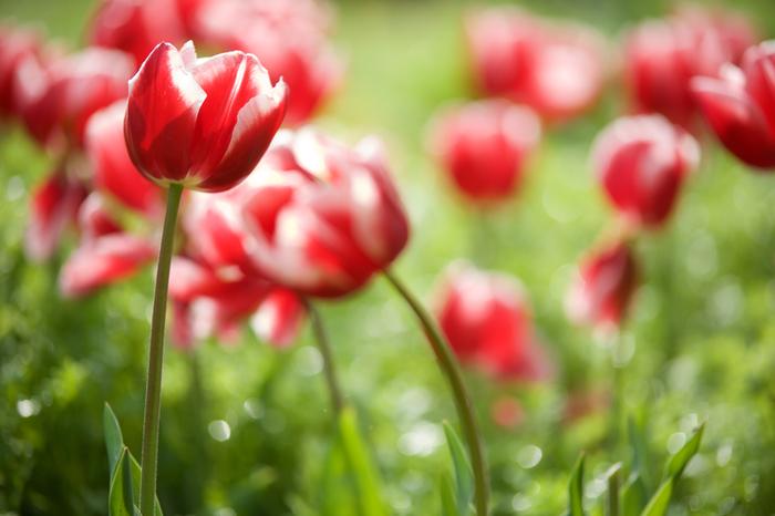 そよ風がやわらかく、ふんわりと通り過ぎるのを感じたら、チューリップを飾ってみましょう。お部屋が途端に春めいて、軽やかな気分になることができますよ。チューリップの生け方、飾り方をご紹介していきます。