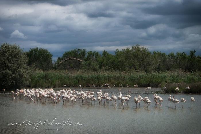 カマルグ湿原は、フラミンゴの生息地としても知られており、その姿を見かけることもできます。