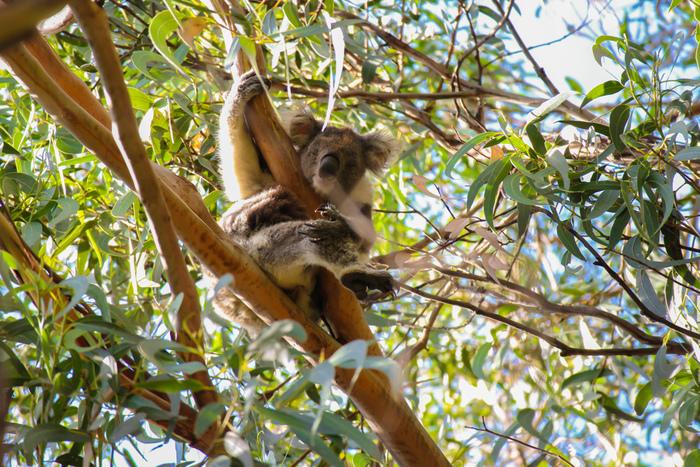 グレートオーシャン沿いにある森は、野生のコアラの生息地となっています。特に「ケネットリバー」という小さな村では、高い確率で野生のコアラに会えると有名です。