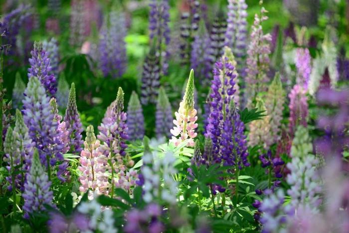 可憐でボリューミーな花が素敵なルピナス。葉っぱの形もユニークです。高さがあるのでボーダーガーデンの奥側を彩るのにぴったり。もともとは多年草ですが、暑さに弱い植物のため寒冷地以外では一年草として生育することが多いそう。涼しい山の中の土地などでは自生することもあり、適した土地では手間いらずなのも嬉しいポイント。