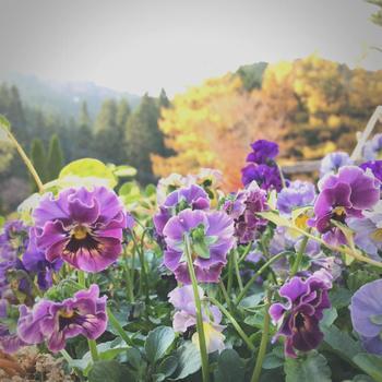 園芸品種の多彩さで目を引くパンジーとビオラ。毎年新品種が発表され、日本各地で様々なパンジー・ビオラを見ることができます。背が低いのでボーダーガーデンでは手前に植えたり、寄せ植えを作って各所に配置するなど花が映える見せ方をしてあげたいお花です。