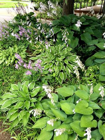 おお振りの葉っぱが楽しいギボウシ。斑入りのものも人気です。耐陰性があるため、半日陰でもよく育ちます。ユリの仲間で、ユリほど大きくないですが可憐な花姿も見せてくれます。