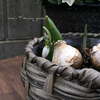 球根の中はたっぷりと栄養が詰まっており、ビギナーでも比較的簡単に一度は花を咲かせることができます。でもまた翌年も綺麗な花を咲かせるためには充分に光合成をさせ、咲くための栄養を再び蓄えさせることができるかどうかがポイントになります。 そこで咲き終わった球根を翌年に向けて生かす方法をチューリップを例に説明します。