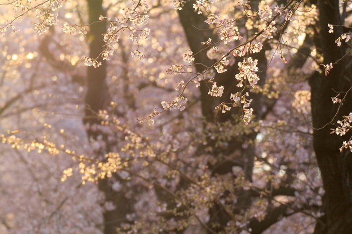 """桜の名所がたくさんある京都。その中でもとっておきの""""あの桜""""をご紹介しましたがいかがでしたか?どうしても混んでしまう時期なので、ねらい目は早朝。ぜひ、今しか見れない素晴らしい景色を楽しんできてくださいね♪"""