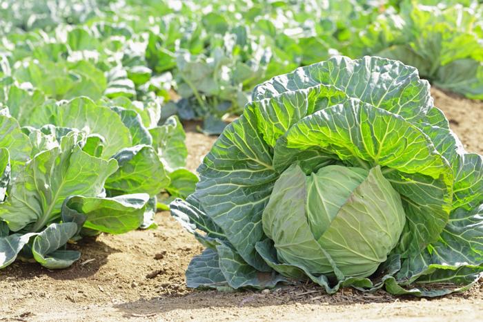 別名「新キャベツ」とも呼ばれる春キャベツは、暖かい日差しをたっぷり浴び、ビタミンが豊富!冬に出回っているキャベツに比べて葉の巻き方がふんわりゆるく、薄緑色をしているのが特徴です。