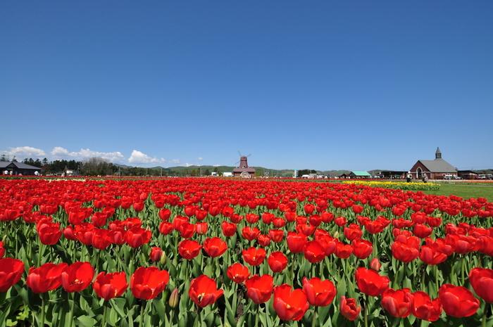 北海道で最も有名な、およそ200品種ものチューリップが咲き誇る「かみゆうべつチューリップ公園」。チューリップの本場・オランダなどから毎年新しい品種を導入し、春が遅く冷涼なオホーツクの気候を逆手に取って開花時期を工夫することで、この公園ならではの雄大な花畑が作り上げられています。