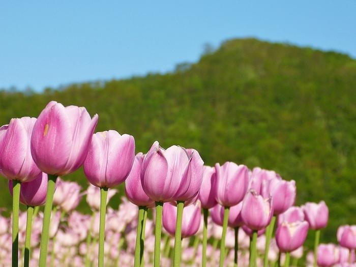 5月上旬から6月下旬まで開催されるチューリップフェアには毎年多くの来園者が訪れます。なじみ深いものからちょっと珍しい品種のものまで、約7ヘクタールの広大な畑一面に咲き誇る様々なチューリップの美しさを堪能できます。