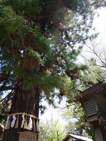 鳥居を入って正面に見える大きな木は、「根入の杉」と呼ばれる樹令約800年の御神木です。古くから言い伝えがあり、「丑三つ時になると枝先を下げて寝入り、いびきが聞こえ、さらに子供に木の小枝を煎じて飲ませると夜泣きが止まる」とのこと。不思議な力を感じさせる木です。