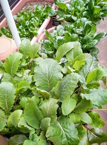 【種まき:3月~10月・収穫:5月~2月】 初心者さんでも育てやすいのが小松菜。虫がつきにくく丈夫なので、プランターでも簡単に栽培することができます。間引きしながら、育ててあげましょう。