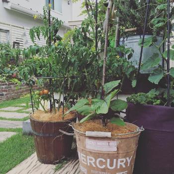 こちらは、鉢を使ってベジタブルガーデンを作るというアイデア。トマトやナス、キュウリがこんなにおしゃれに栽培できます。土の表面にクルミの殻やココファイバーを敷くことで、ナチュラルな雰囲気を演出。