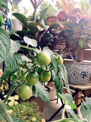 ベランダを利用して作る、素敵なベジタブルガーデンです。鉢植えやお花のプランターと一緒にトマトを栽培。木製の棚を使ってディスプレイすれば、ベランダからの見栄えも美しく♪