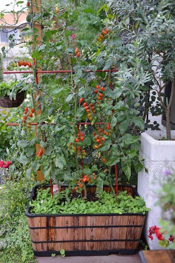 アンティークな趣のプランターを使うだけでも、こんなにおしゃれな雰囲気に。蔓が長く伸びるミニトマトなどの野菜は、周囲のグリーンとも馴染んでくれるので、ベジタブルガーデンにぜひ取り入れたいもの。