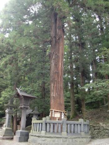 こちらは「縁結びの杉」と言われる御神木。根元が一本で先が二又にわかれている巨杉です。 「春宮」は家庭運、結婚運をもたらすとともに、新しいことを始めたり、立ち上げる力を与えるパワースポットとして注目を集めています。
