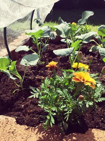 『ベジタブルガーデン』とは、野菜を作りながら、お庭としても癒しの空間を作ることのできるガーデンのこと。「キッチンガーデン」と呼ばれることも。