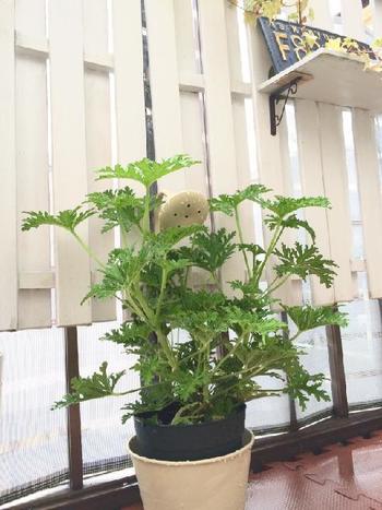 ハーブゼラニウムを一緒に植えるだけでも、虫避け効果が。蚊嫌草ともいわれており、虫の嫌いな香りを持つハーブなんです。健康にも影響がない上に、見た目にもおしゃれなので、おすすめです♪