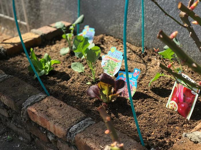 これは、前に栽培していた野菜に帰省していた害虫の病気が、根を通してそのまま土の中に残ってしまうため。連作をせずに栽培する期間を空けたり、病気に強い品種の種を使ったりすることで、防ぐことができます。