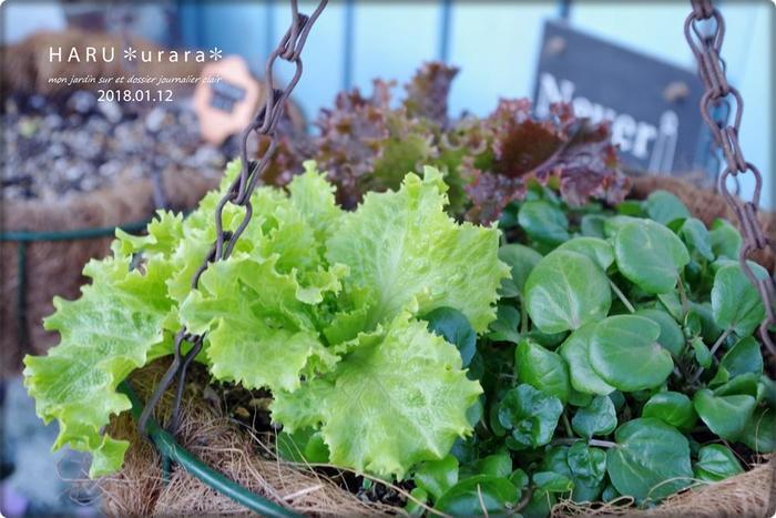 【種まき:4月と10月・収穫:5月と11月】 寒さにも強いリーフレタスも、とても育てやすい野菜。収穫までひと月半程度なので、すぐに食べられるのも嬉しいですね。レッドとグリーンがあり、ベジタブルガーデンに華やかさをプラスしてくれます。