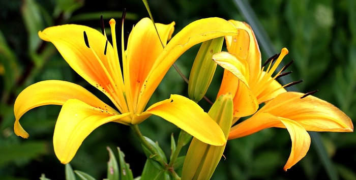しかし黄色やオレンジのユリには、陽気・偽り・軽率といった少しイメージがかわる花言葉も。プレゼントには白いユリを贈りたいですね。