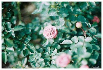 ~オールドローズ~ 明確な線引きはないものの、広義には原種のワイルドローズから、モダンローズの「ラ・フランス」が開発されるまでの品種をさします。オールドローズにも様々な咲き方・色・大きさの品種がありますが、一季咲きが多く、四季咲き性のものは少ないようです。アンティーク・ローズとも呼ばれ、優雅な花姿と芳醇な香りを放つのが特徴です。