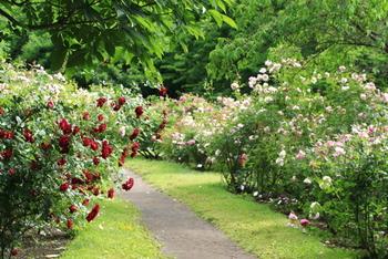 1867年に作出された「ラ・フランス」という品種がモダンローズの第一号とされています。このバラは冬以外に花を咲かせる四季咲き性で、大変な人気があったようです。これ以降ますます様々なバラの品種開発が進み、中でも1969年に発表された写真の「イングリッシュローズ」という品種は、オールドローズとモダンローズの良いところを併せ持つ秀逸なバラとされ、現在でもバラ愛好者たちから不動の人気を集めています。