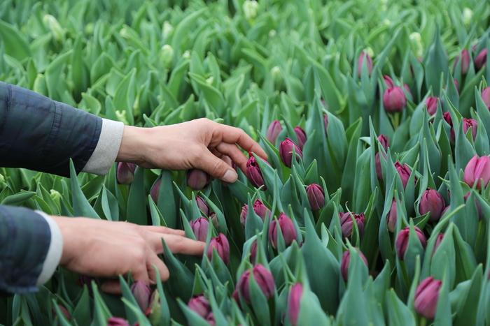 【連載】『霽れと褻』代表・田中さんに教わる 「花ごよみ」 vol.9-チューリップ