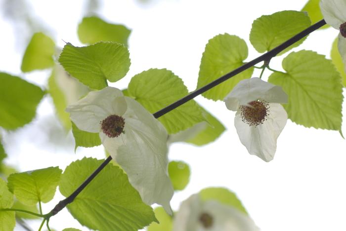ご覧のとおり、たくさんのハンカチが振られているように見えることから名付けられました。開花期はちょうどゴールデンウィーク。都内でこの木に会える場所は数が少ないため、たくさんの人が訪れます。