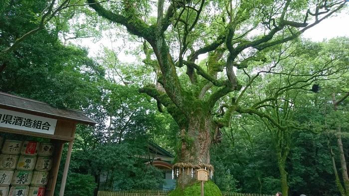 神社内にある御神木は樹齢1,000年と言われています。御神木に住む白蛇に出会えると、ご利益があるとの言い伝えも。眺めているだけでも英気を養えそうです。