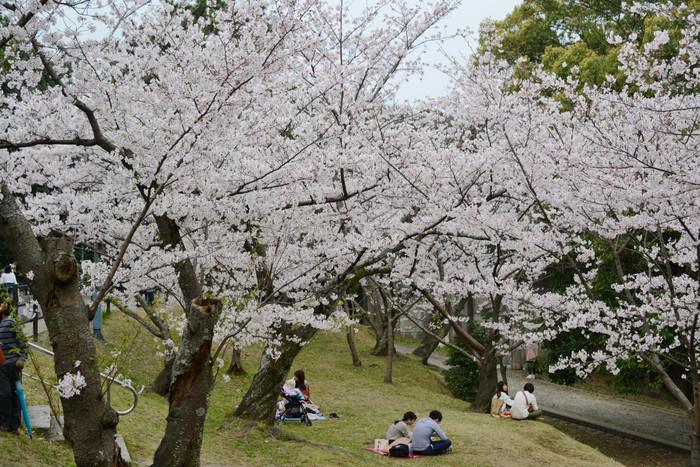 ソメイヨシノやシダレザクラなど1,300本の桜が咲き誇り、春は美しい桜の下でお花見を楽しむ人の姿を多く見かけます。