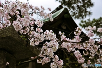 毎年220万人以上の参拝客が訪れる「宮地嶽神社」は、桜スポットとしても知られています。春になると、ヨシノザクラやカンヒザクラ、ヤマザクラなど2,000本の桜が花を咲かせます。桜花まつり期間中は、イベントも見逃せません!