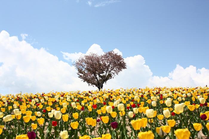 「四季彩の丘」は夏がメインの花畑ですが、春には色とりどりのチューリップと桜が咲く事で人気です。4月下旬〜10月下旬の期間中は、様々な四季折々のお花が楽しめます。