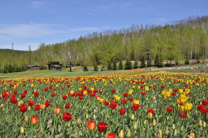 JR札幌駅から車で約60分の所にある「国営滝野すずらん丘陵公園」は、北海道で唯一の国営公園です。春には、400ヘクタールの広大な敷地内に、色とりどりの花々が咲き、その美しい景色を一目見ようと多くの観光客で賑わいます。