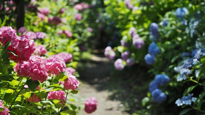 塔ノ沢も大平台も、早川渓谷沿いの温泉場で、周辺は緑豊か。新緑も紅葉も素晴らしく、散策に良いエリアです。 【大平台の人気のビュースポット「あじさいの小径」。開花の時期は、絶好のショットを求め、多くのカメラマンで賑わう。】