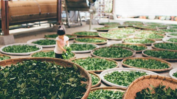 現在、日本で生産されているお茶はほとんどが緑茶です。流通量の85%を占め、最もよく飲まれている煎茶を始め、玉露・抹茶・ほうじ茶・玄米茶など様々な種類があります。 特にカフェインを多く含んでいるのは、若い芽を摘んでつくられる抹茶や玉露です。