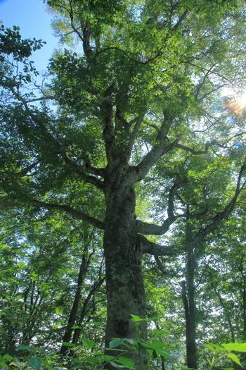 マザーツリーとは、津軽峠近くにある樹齢約400年と推定されているブナの大木です。圧倒的な太さを誇る幹、堂々たる佇まいをしたマザーツリーは、白神山地の歴史を静かに刻み続けています。