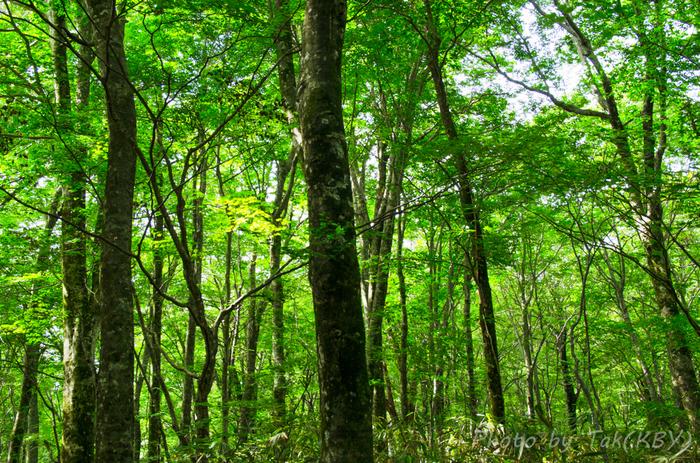 約1000メートル級の山々が連なる白神山地では、ブナやミズナラといった樹々が鬱蒼と生い茂っており、その規模は、世界最大級とも称されるほどです。