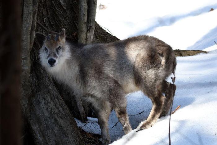 豊かな自然に抱かれた白神山地は野生動物の宝庫でもあります。ここでは、この地に生息するニホンカモシカなどの動物たちの姿を見かけることもできます。