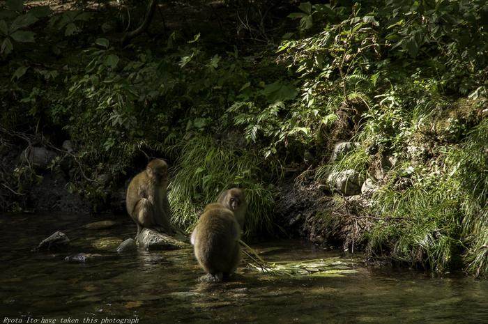 白神山地では、ニホンザルも生息しています。秋田県でニホンザルが生息しているのは、白神山地のみとなります。