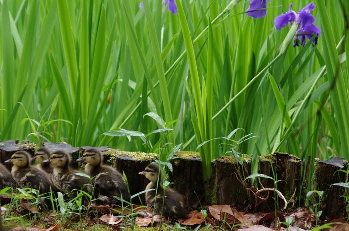 杜若が見頃を迎える時期は、ちょうどカモなど、水鳥たちが子育てをするシーズンです。運がよければ杜若の中ですくすくと成長してゆく水鳥のヒナたちに会えるかもしれませんね。