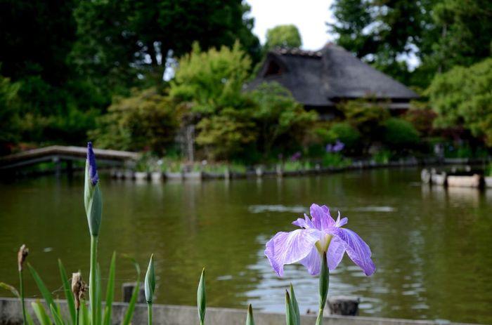 京都市右京区に鎮座する梅宮大社は、酒造の神様である酒解神を主祭神として祀る神社です。境内には、初夏は梅、春は桜、晩春はつつじ、初夏は杜若、あじさい、花菖蒲、秋は紅葉など、四季折々の彩りを見せてくれる植物がたくさん植えられています。