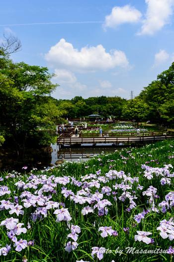 大阪府枚方市にある山田池公園は、春日山、ジョギングコース、展望広場、バーベキュー広場など様々な施設を兼ね備えた都市公園です。公園内には梅、ツツジ、サルスベリ、花菖蒲、あじさいなど、四季折々で美しい花を開花させる植物が植えられており、年間を通じて美しい景色を楽しむことができます。