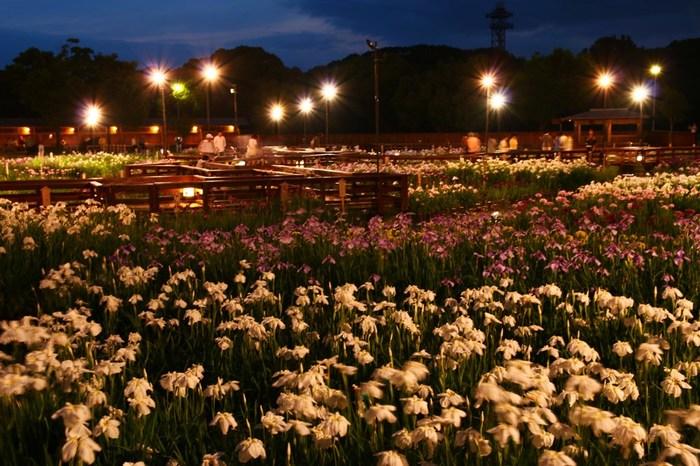 公園内にある山田池では、毎年6月頃に花菖蒲が見頃を迎えます。日が暮れると公園内の灯りが、気高く咲き誇る花菖蒲をやさしく照らし、日中とは異なる幻想的な雰囲気に包まれます。