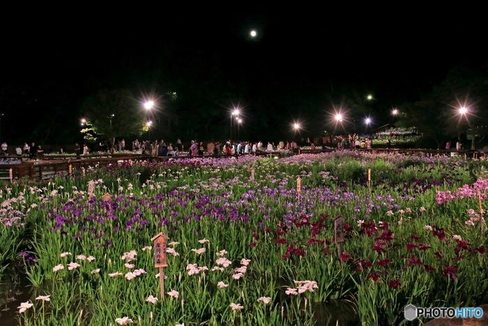 晴れた梅雨の合間の夜に、お月見を楽しみながら、花菖蒲の夜間鑑賞を楽しんでみるのもおすすめです。