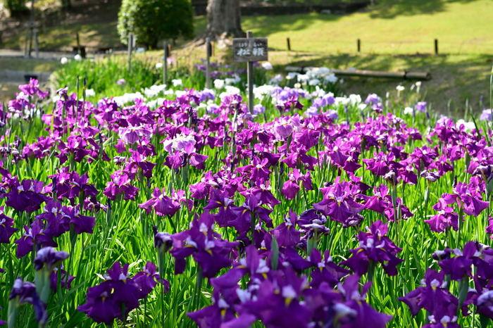 1970年に開催された大阪万博の跡地に造られた広大な総合公園、万博記念公園は、四季折々で美しい花々を観賞できる公園です。