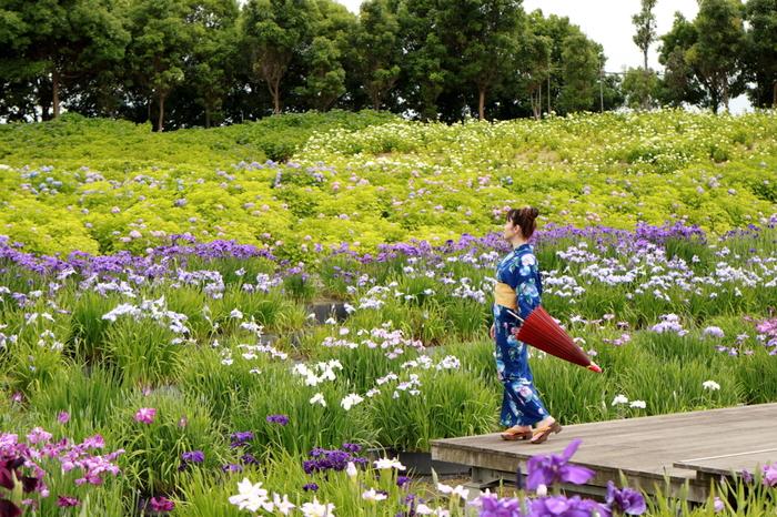 濃紫、薄紫、白、ピンクなど様々な色合いの花菖蒲、雨がもたらした周囲の緑の鮮やかさが見事に調和し、なばなの里では絵画のような景色が広がっています。