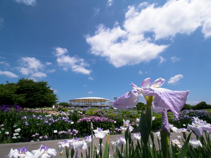 三重県を代表する花の名所・なばなの里は、四季折々で美しい花々が開花します。毎年梅雨の時期になると、約8000坪の広大な「花しょうぶ園」に花菖蒲が凜と気高く咲き誇ります。