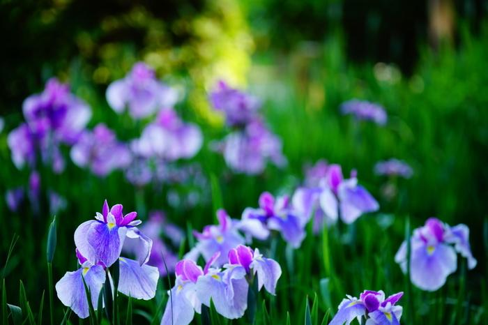 公園内には、約40品種の花菖蒲が植えられており、その数は約3000株になります。毎年、梅雨の時期になると花菖蒲は見頃を迎え、都会のオアシスのような須磨離宮公園に彩りを与えてくれます。