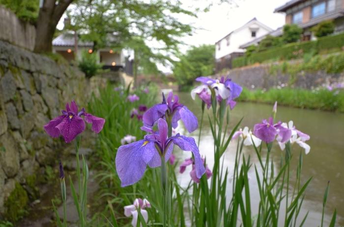 時代劇のロケ地にもなっている滋賀県 近江八幡市の八幡堀周辺は、江戸時代の面影を色濃く残すエリアです。梅雨が始まる頃になると、八番堀脇の遊歩道に花菖蒲が開花し、風情ある景色に華を添えています。