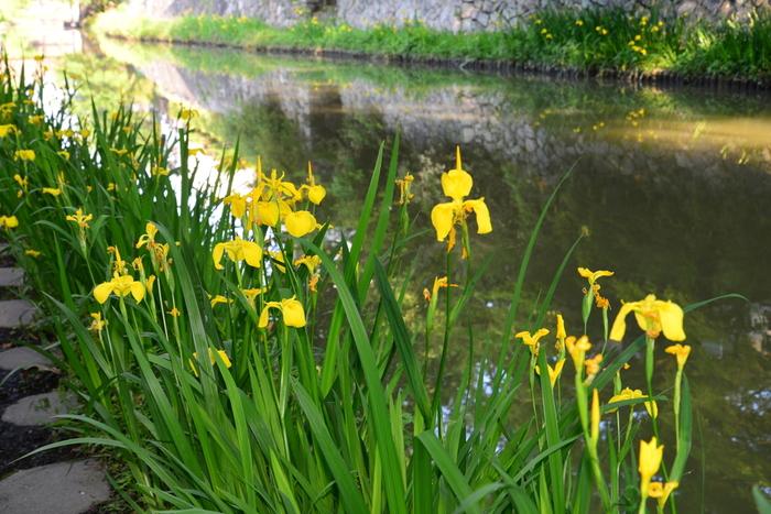 八幡堀では、よく見かける紫、白といった花菖蒲だけでなく、黄色の花びらをした花菖蒲を見かけることできます。